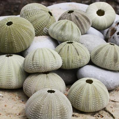 Green Sea Urchin | Pack of 3 | Beach Shells | Natural Decor