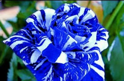 "35  Rose Rosen Samen Blue Dragon Seeds Gothic Gardenin."" + Tribute - Geschenk.,"