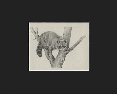 Raccoon Engraving Print by  Marguerite Kirmse Print 1941 Matted