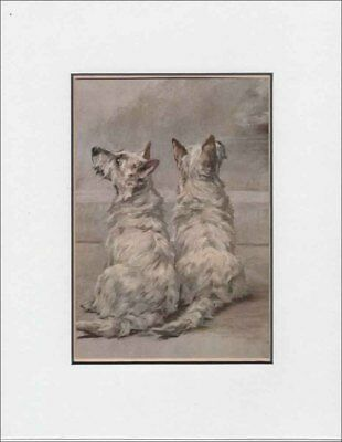 White West Highland White Terrier Dogs ANTIQUE Print 1912  by Maud Earl