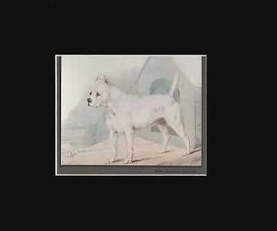 Antique White Terrier Dog Print by Sir Edwin Landseer 8x10 Matted 1912