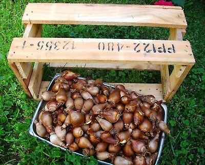 Jonquil bulbs - 100 organically grown bulbs