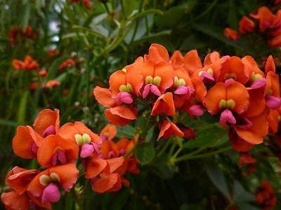 Coral Creeper  (Kennedia coccinea)  20 Seeds