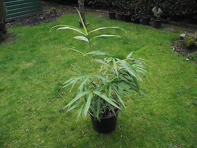 BAMBOO PLANT Fargesia Rufa Plants In 12 LTR Pot - £9.99 | PicClick UK