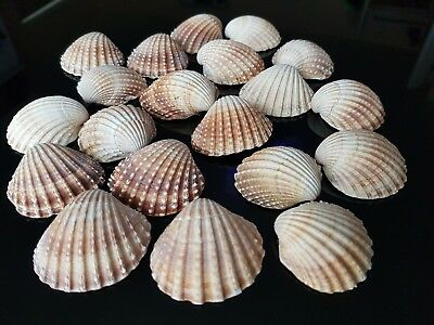 20 Local Beach Sea Shells Craft Art Wedding Natural Table Decor Coastal Style87g