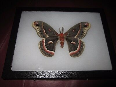 "saturniidae hyalophora cecropia moth mounted  framed 6 x 8"" butterfly #pin04."