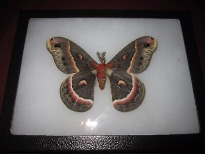 "saturniidae hyalophora cecropia moth mounted  framed 6 x 8"" display #pin09."