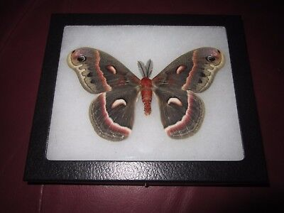 "saturniidae hyalophora cecropia moth mounted  framed 5 x 6"" display #pin01.."