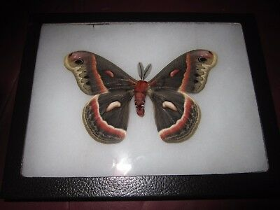 "saturniidae hyalophora cecropia moth mounted  framed 6 x 8"" display #pin012."