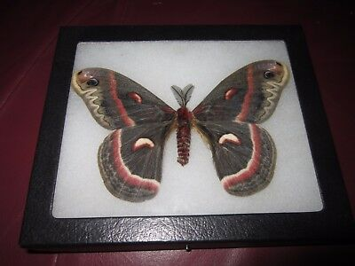 "saturniidae hyalophora cecropia moth mounted  framed 5 x 6"" display #pin03.."