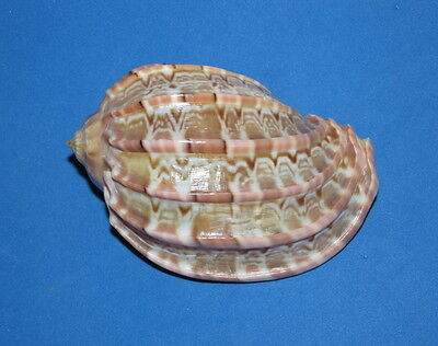 Seashells  Harpa Major, Shells  Mre471