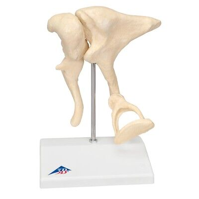Ossicle Model-20x Life Size  1 EA