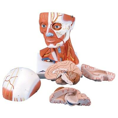 Head and Neck Musculature 3/4 full-size 5-part  1 EA