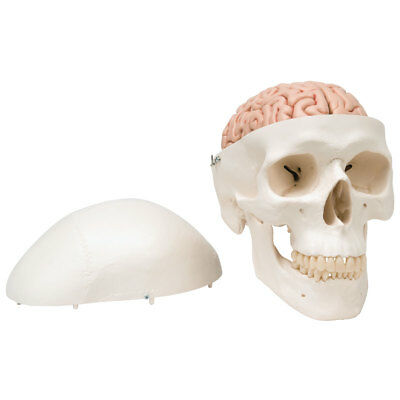 Classic Skull w/ Brain 5-part  1 EA