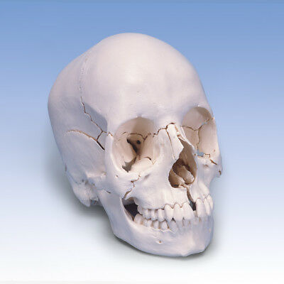 Beauchene Skull anatomical version 22-part  1 EA