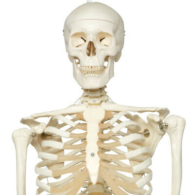 Stan the Standard Skeleton w/ hanging roller stand  1 EA