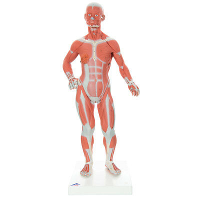 Muscular Figure 1/3 life-size 2-part  1 EA