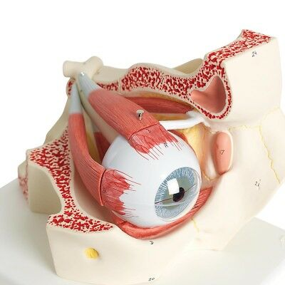 Eye 5 times full-size 8-part w/ Eyelid and Lachrymal System  1 EA