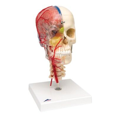 3B Scientific System Skull didactic deluxe skull 7-part  1 EA