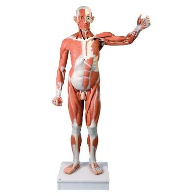 Male Muscular Anatomy Model Life-Size 37-Part  1 EA