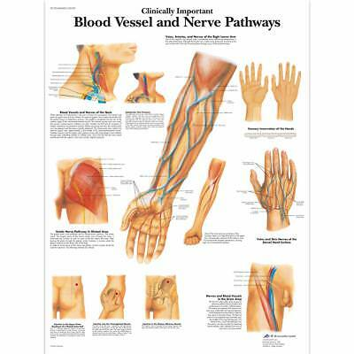 Blood Vessels-Nerve Pathways  1 EA