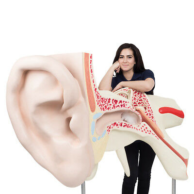 The World's Largest Ear 15 Times Full Size 3-Part  1 EA