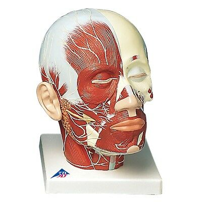 Head and Neck Musculature w/ Nerves  1 EA