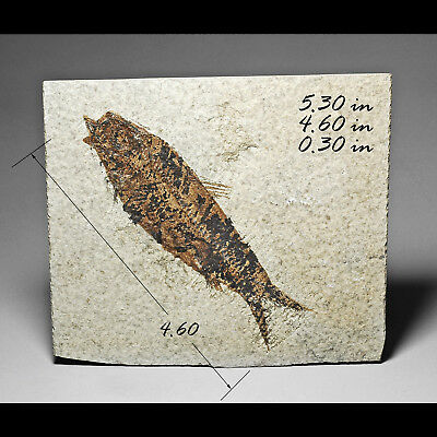 Fish Knightia Green River Formation Fossil Fossils Fossilized