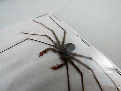 Amblypygi sp. Indonesian Whip Spider SMALL Taxidermy REAL Insect