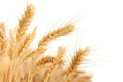 WHEAT SEEDS Grow Your Own - RABBIT - GUINEA PIG - CHICKEN - PEOPLE - FOOD