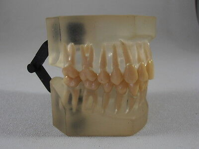 Dentsply Dental Model Display Rubber Open Jaw Removable Teeth