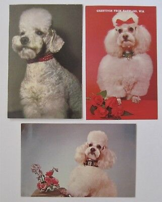 THREE White  Poodle Dog Postcards