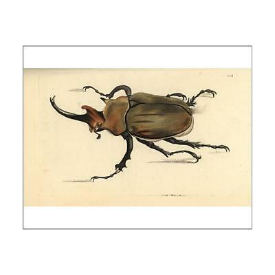 """10""""x8"""" (25x20cm) Print of Dung beetle, Megasoma elephas from"""