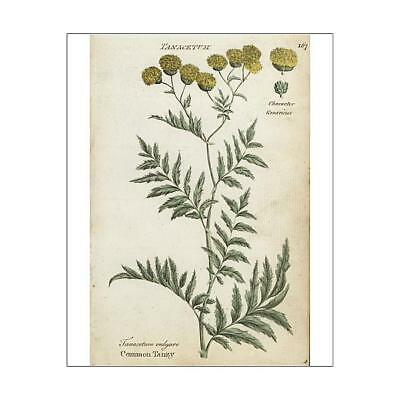 """10""""x8"""" (25x20cm) Print of Common tansy, Tanacetum vulgare from"""