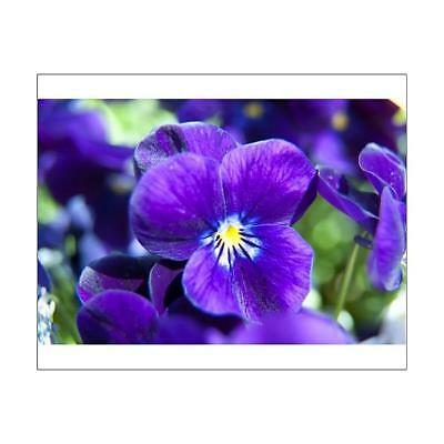 "10""x8"" (25x20cm) Print of Violets N100281 from"