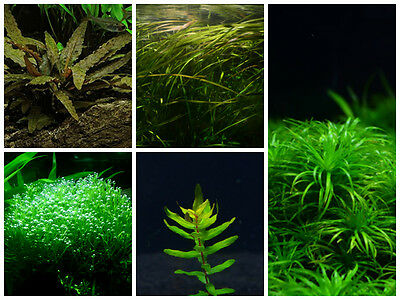 Plants Combo Pack 7 - Live Aquarium/Fish Tank Plant