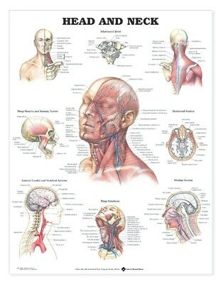 Head and Neck -  ENT * Anatomy Poster * Anatomical Chart Company