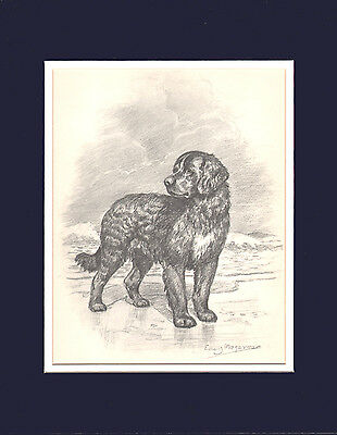 Newfoundland Dog Print by Edwin Megargee LG 1953 11 X 14 Double Matted