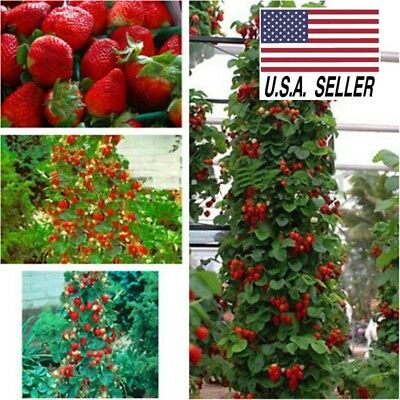 400+ Organically Grown Fresh STRAWBERRY SEEDS*Non-Gmo* Heirloom* GIANT*FRUIT