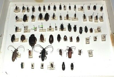 Insect Collection 60 Species Identified With Tags - Coleoptera - Beetles