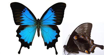 Papilio ulysses BLUE Butterfly (FOLDED) Taxidermy REAL Unmounted