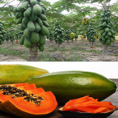 10Pcs Maradol Papaya Seeds Home Outdoor Garden Vegetable Fruit Tree Seeds Hot