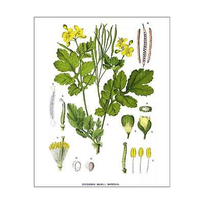 "15099061 10""x8"" (25x20cm) Print of Medicinal and Herbal Plants"