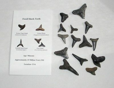 Fossil sharks tooth Fossil teeth mix lot 12 teeth before Megalodon