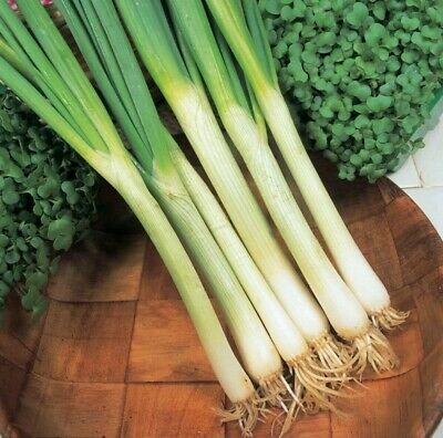 Vegetable - Seeds  Onion Spring White Lisbon (Winter Hardy) 270 Seeds Year Round