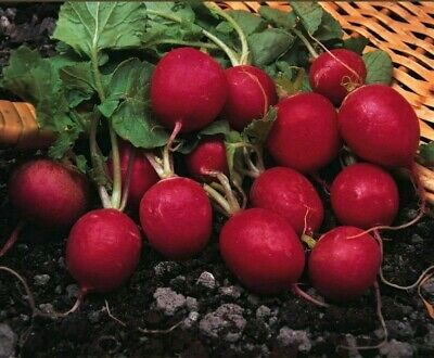 Radish - Cherry Belle - 200 Seeds High Quality All Year Allotment Vegetable -