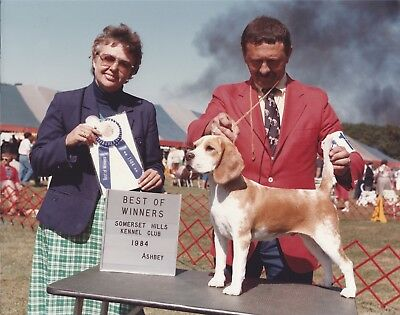 Beagle Show Photo CH KNOLLAND RUN FOR THE ROSES, BW Somerset Hills 1984, 1 of 2