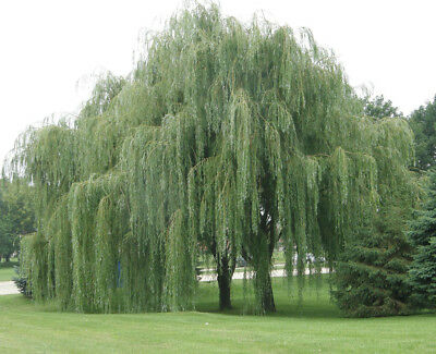 Australian Willow  (Geijera parviflora) 25 Seeds