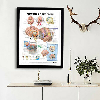 Human Anatomy of the Brain Poster Anatomical Chart Body Poster Medical Education