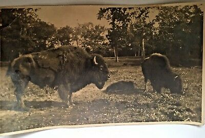 Antique photo American Bison